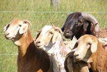 Farming - Sheep