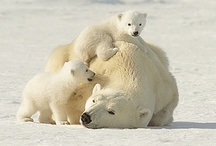 Polar Bear Mothers & Cubs / Polar bear mothers and cubs share extraordinarily close bonds. Cubs remain with their mothers for about 2.5 years, learning how to hunt and survive in the harsh arctic environment. / by Polar Bears International