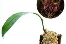 Bulbophyllum / Semua tanaman dalam board ini bisa dikirim keseluruh Indonesia, silahkan order ya, tel: 0341-599399 I SMS center: 08569020300 atau kunjungi website kami www.kebunbibit.id