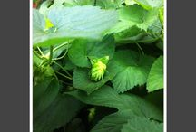 Hops / hops of all shapes, sizes, aromas and flavors