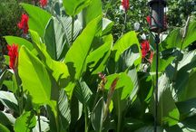 canna lilies lily