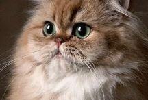 lovepersiancats