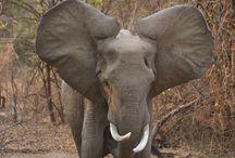 olifant  / stug