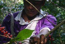 Cueillette des cerises de café / Le « picking » : Lobodis a opté pour cette technique qui offre, de loin, les meilleurs résultats. Pour ne prélever que les cerises rouges, arrivées à maturité, il est nécessaire de faire 3 à 5 passages de récolte. C'est un travail long et plus exigeant pour les cueilleurs.