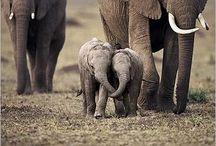 My Love Affair with Elephants