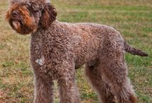 """Lagotto Romagnolo / Lagotto Romagnolo as far back as ancient Rome. The name means """"lake dog from Romagna,"""" coming from the Italian word lago, lake. All modern water-retrieving dog breeds are believed to have descended in part from the Lagotto Ramagnolo. Its traditional function is a gundog, specifically a water retriever. - See more at: http://www.noahsdogs.com/m/dogs/breed/Lagotto-Romagnolo#sthash.3fKPyD8R.dpuf"""