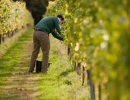 Chalksole vineyard