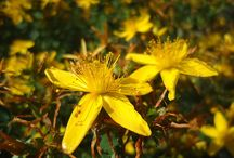 St. John's Wort (Hypericum perforatum) / All things related to St. John's wort