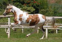 """Tobiano with """"Sabino Boost"""" / The horses on this board have the tobiano pattern influenced by a sabino-type pattern."""