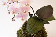 Bloem- mos combinatie / Bolletje mos met orchidee phalaenopsis