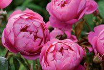 Roses I Lust After