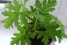 zioła i rośliny