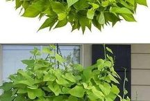 Potato vines