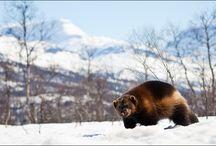 Finnish wildlife