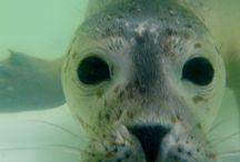 Gewone zeehonden / Informatie en mooie afbeeldingen van de Gewone zeehond (Phoca vitulina).