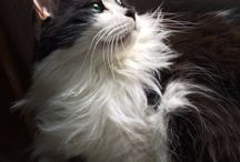 Sirius Black and White / Great photos of our Norwegian Forest cat