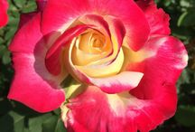 Our Roses / The May 2015 blossoming of the roses in our garden was a true spring gift for a year of efforts. Enjoy these beauties of nature and discover hidden meanings of rose colours.