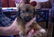 Reesie / Our pup...born September 2, 2011 - She's a Havanese and keeps us laughing! / by Brenda Trice