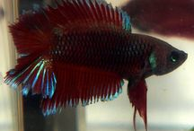 IBC Double Tail Plakats / Show quality halfmoon double tail plakat  bettas bred  by International Betta Congress Members. / by International Betta Congress