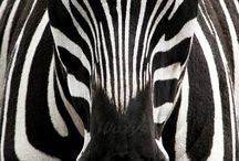 Fascino zebrato
