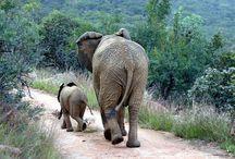 On Safari in East Africa / Game viewing in Kenya and Tanzania