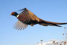 Pheasants / Beautiful, Hard-Flying Pheasants
