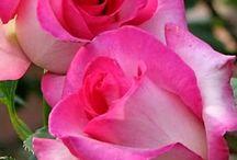 rózsàim