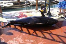 Supplier Yellowifn Tuna - Yellowfin Supplier