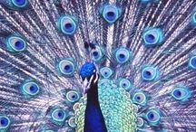 /// peacock