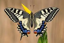 Swalow Tail Butterfly