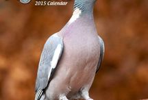 2015 Pigeons Calendars / by MegaCalendars.com