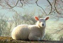 Sheeps etc...