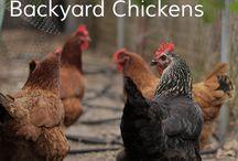 Chickens / by Rachel Huneycutt