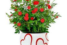 cultivo de mini rosas.