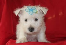 Westie Puppies For sale / These are some of the Westie Puppies on our website.