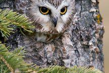 Owl / Совы:)