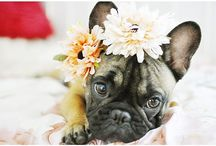 Dogs: French Bulldogs