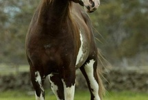 Horses - Faster ,Stronger  and Majestic animal
