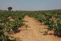 En nuestros viñedos / Serie de fotografías de nuestros viñedos situados en Sotillo, Quinta del Pidio, Gumiel de Izán, La Horra y el Pago de Santa Cruz en La Horra para el Ferratus Sensaciones