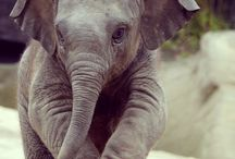 elefántocska