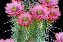 ≤ CACTUS FLOWERS ≥ / by Jean Carnaggio