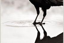 crow (+ raven)