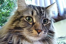 Love Maine Coon Cats / by Peggy Wingo-Wuchitech