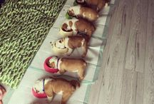 Bulldog yavruları