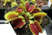 """Sawtooth Venus Flytraps 