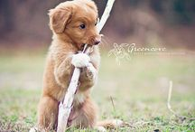 Nova scotia duck tolling retriver