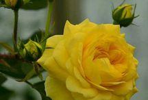 жълта роза е мойта слабост