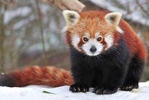 Firefox / Красные панды