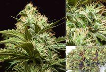 Buddy Boy Cannabis Strains / Marijuana flower cannabis strains grown and sold by Buddy Boy Brands in Denver, Colorado. Live plant photos, nug photos, and macro shots.