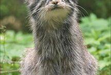 Pallas , Russian wild cat